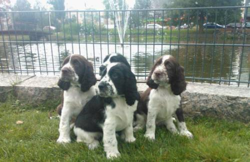 Puppies travelling in Forssa